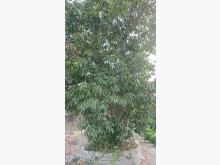 [7成新及以下] 錫蘭橄欖樹/請先來電詢價花苗/樹苗有明顯破損