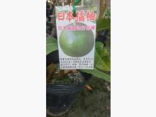 [7成新及以下] 日本橘柚嫁接苗/請先來電詢價花苗/樹苗有明顯破損