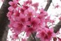 櫻花季節盛開