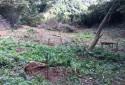 已栽種桶柑苗,樹苗周圍可栽種蔬菜